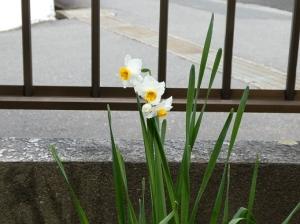 令和2年2月15日、我が家の水仙が咲きました。