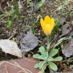 令和2年3月13日、我が家の庭も春の花が二株、三株と咲き出してました。